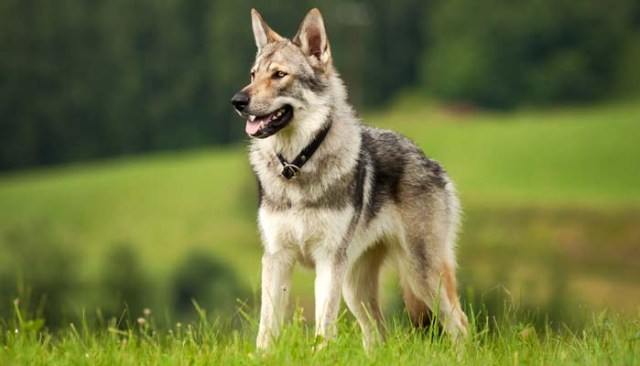 Wolf-Like Dog Breeds - Know the Difference and Choose Wisely 1