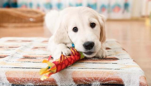 Dangerous Puppy toys