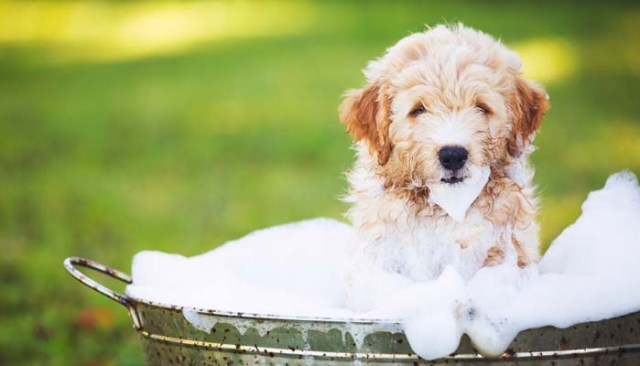 Dog bath to reduce shedding in Pets