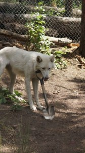 Rescued Wolf Loves to Play Keep Away