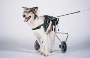 These Dogs Playing Fetch In Wheelchairs Couldn't Be Cuter