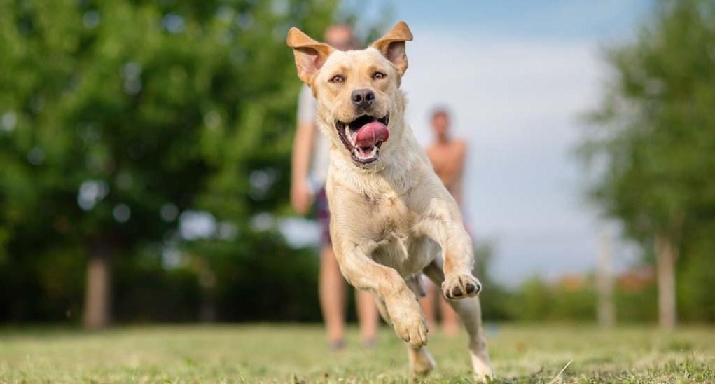 Best-known Labrador Retrievers Facts