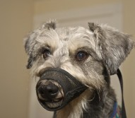 Dog Muzzles Aren't Just for Aggression