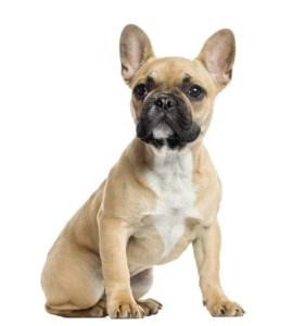 French Bulldog Breed Profile