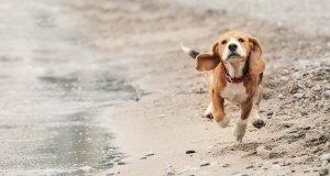 Beagle Dog Breed Profile