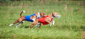 Lure Coursing athletic dogs