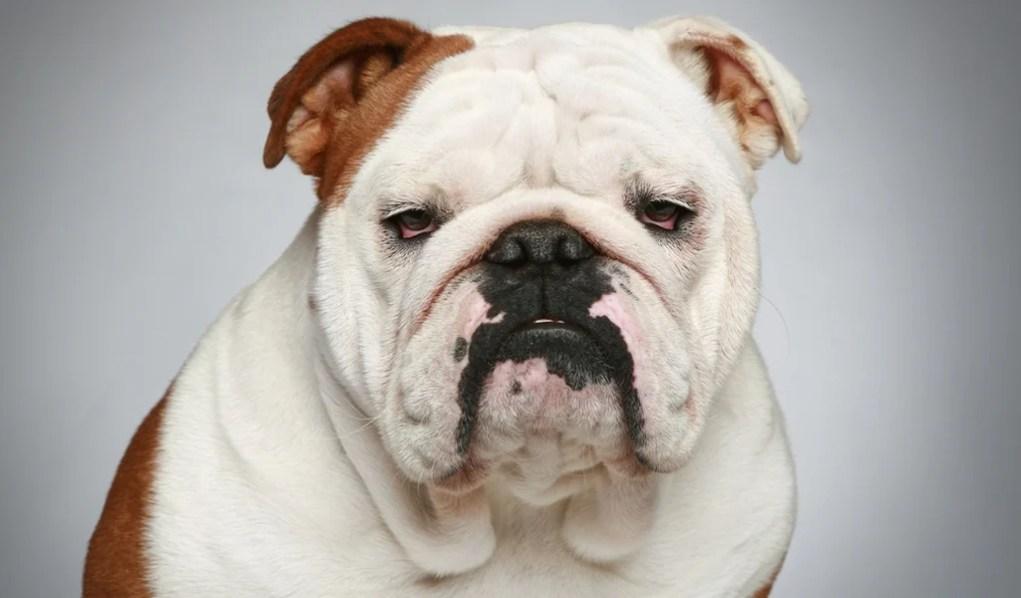 Bulldog Breed Profile