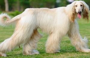 Grooming Intensive Dog Breeds