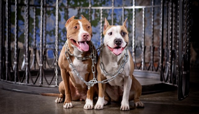 You'll Never Guess What These Pit Bulls Did to Avoid Euthanasia