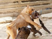 How Fighting Dogs Are Trained