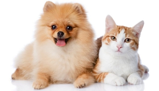 Pomeranians are the Best Dogs for Cats