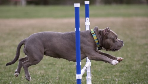 Getting Started in Dog Agility Competition Training