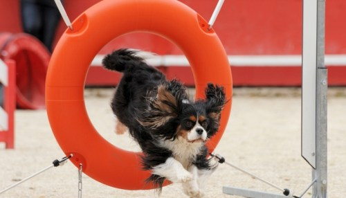 Further Considerations on Dog Agility Competitions