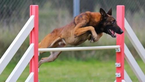 Key Points on Dog Agility Competition Training