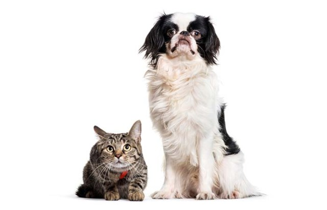 Japanese Chin sitting with cat
