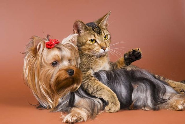 Yorkshire Terrier plays with cat