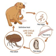 A life cycle of fleas