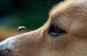 Bee Products For Dogs - Their Safety Efficacy and How To Use Them