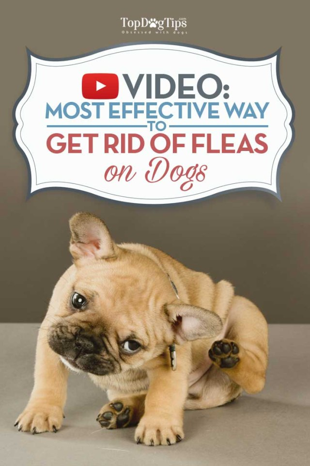 Tips on How To Remove Fleas From A Dog