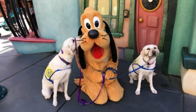 A Service Dog Gets His Caricature Drawn At Disneyland And Melts Hearts Around the World