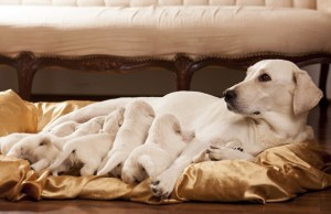 Dog Pregnancy and Whelping
