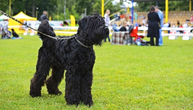 Tips and Tricks for Working with Show Dogs