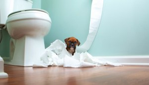 Prevent your puppy from drinking from the toilet