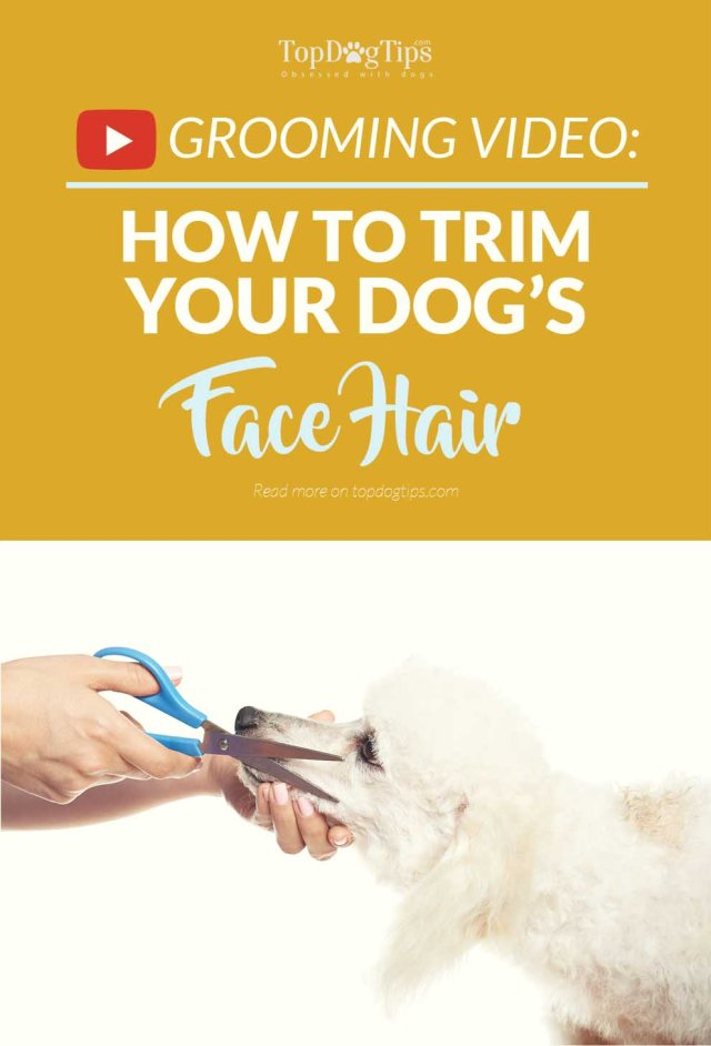 Tips on How To Trim Your Dog Face Hair with Scissors
