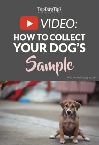 Video on How To Collect A Urine Sample From A Dog
