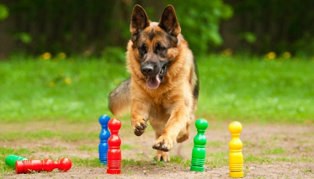 most talented dog breeds