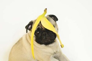 Safety precautions of bananas for dogs