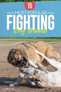 15 Most Popular Fighting Dog Breeds