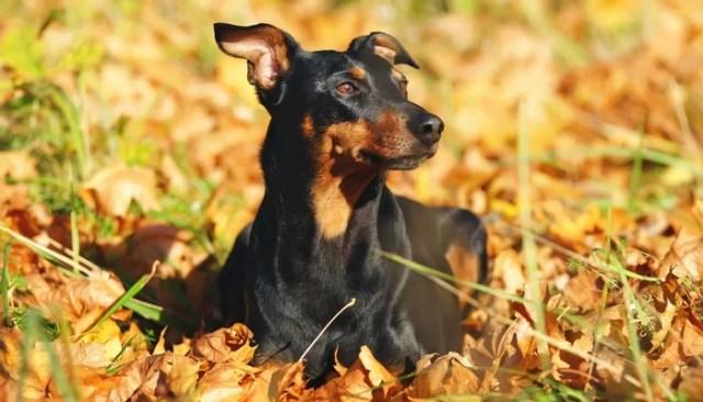 German Pinscher as the Best short hair dog breeds