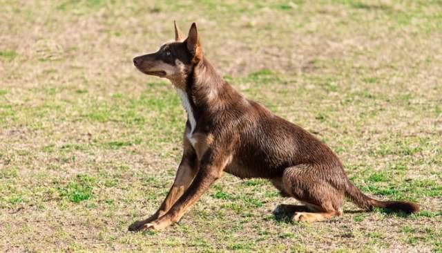 Australian Kelpie as the Best short hair dog breeds