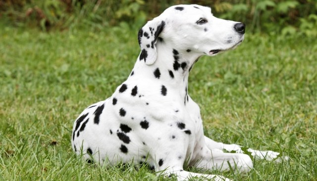 Dalmatian as the Best short hair dog breeds