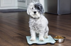 Can Overweight Dogs Be Put On a Diet