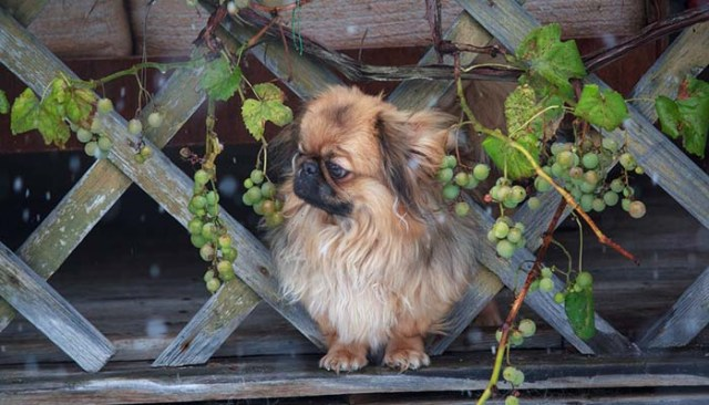 Dangers of grape toxicosis for dogs