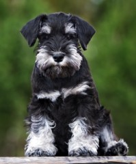Miniature Schnauzer Dog Breed Lifespan