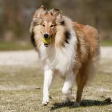 Scotch Collie Dog Breed Lifespan