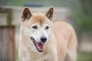 New Guinea Singing Dog Breed Lifespan