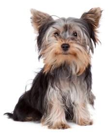 Yorkshire Terrier Dog Breed Lifespan