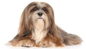 Lhasa Apso Dog Breed Lifespan