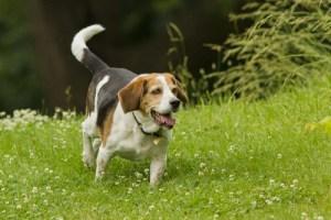 Beagle Dog Breed Lifespan