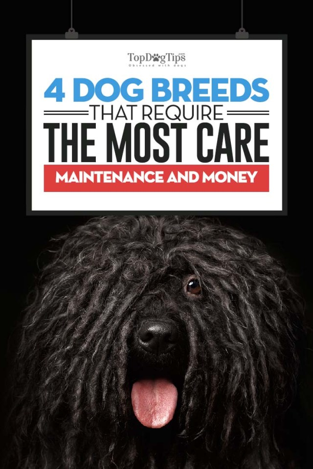 Dog Breeds That Require the Most Care