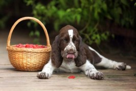 Health benefits of raspberries for dogs