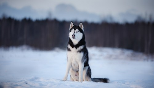 Siberian Husky as one of the Most Dangerous Dogs