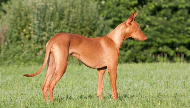 Pharaoh Hound as the Most Expensive Dog Breeds