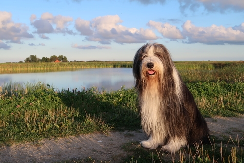 Bearded Collie as the Most Expensive Dog Breeds