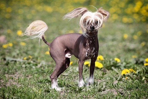 Hairless Chinese Crested as the Most Expensive Dog Breeds