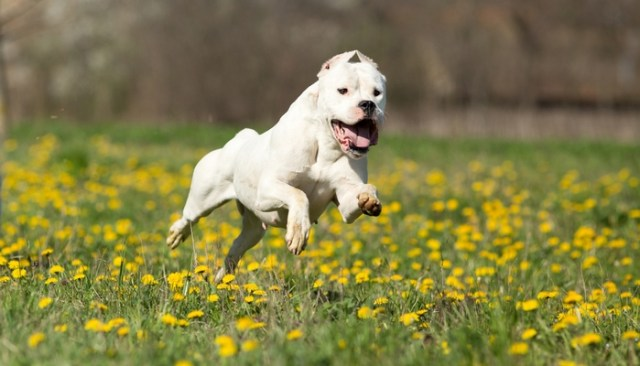 Dogo Argentino as the Most Expensive Dog Breeds